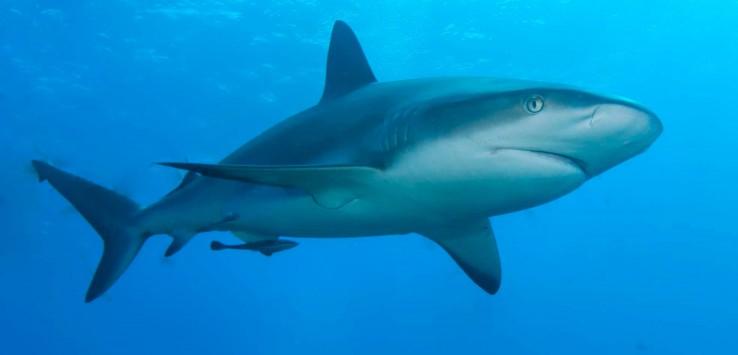 Reef_shark