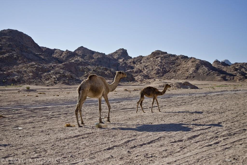 Dwadzieścia kilometrów dalej. Wyjeżdżamy na pustynię. Wielbłądy bezceremonialnie zachodzą nam drogę. Wielbłąd na pustyni ma jednak zawsze pierwszeństwo.