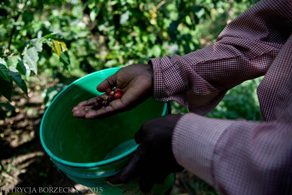 Joseph dokładnie ogląda ziarna kawowca. Czerwony kolor oznacza niedojrzałe ziarna. Czarny natomiast oznacza ziarna zepsute, które należy wyrzucić.